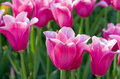 Spring flowers pink tulips background Royalty Free Stock Photography
