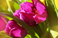 Spring flowers. Pink Tulips,closeup. Flower background. Royalty Free Stock Photo