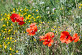 Spring flowers - Poppy Stock Images