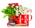 Spring flowers in pot and watering can Royalty Free Stock Photo