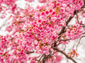 Spring flowers series, Beautiful Cherry blossom