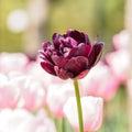 Spring Flowers Series, Black T...