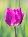 Spring flowers series, single purple tulip Royalty Free Stock Photo