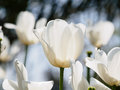 Spring flowers series white tulips against strong sun shine with the amazing transparent petals Royalty Free Stock Photography