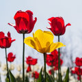 Spring flowers series, yellow tulip among red tulips Royalty Free Stock Photo