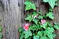 Spring  flowers on the tree ivy Royalty Free Stock Photo