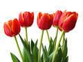 Spring flowers - tulips Stock Photo