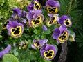 Spring flowers viola garden summer sun Royalty Free Stock Photo