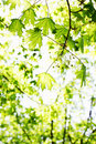 Spring foliage bright green on maple background Royalty Free Stock Images