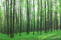 Spring forest beech tall green trees in Royalty Free Stock Photo