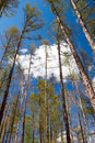 Spring Forest - birch and larch Royalty Free Stock Image