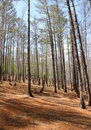 Spring Forest - birch and larch Stock Photos