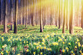 Spring forest covered by yellow daffodils Royalty Free Stock Photo