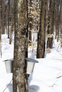 Spring forest during maple syrup season Royalty Free Stock Image