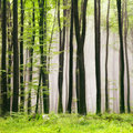 Spring forest season foggy green beech scene Stock Image