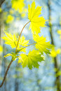 Spring forest young leaves of maple in the Stock Image