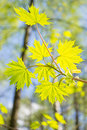 Spring forest young leaves of maple in the Royalty Free Stock Photography