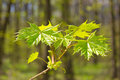 Spring forest young leaves of maple in the Royalty Free Stock Photos
