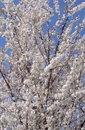 Spring fruit tree Blossoms Stock Photography