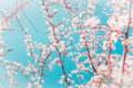 Spring fruits trees branches with buds and flowers on blue sky background in garden or park selective focus Royalty Free Stock Photo