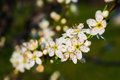 Spring garden blossoms white on a tree branch in Royalty Free Stock Images