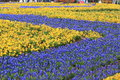 Spring garden covered with purple and yellow flowers Stock Photos