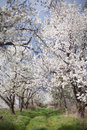 The spring in the garden - flourishing fruit trees Royalty Free Stock Photo