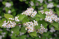 Spring garden flower hawthorn tree beauty Royalty Free Stock Photo