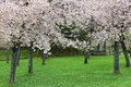 Spring garden with majestically blossoming cherry trees on a green lawn Royalty Free Stock Photo