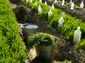 Spring garden scene two buckets and spade in irrigation ditch between vegetable beds with growing wheat as green manure and some Royalty Free Stock Photo