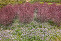 Spring garden the with violet orychopragmus flowers and prunus cerasifera Stock Images