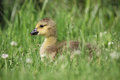 Spring gosling a young sitting in the grass on a day Royalty Free Stock Images