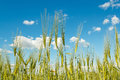 Spring grain with blue sky on field Royalty Free Stock Photography