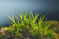 Spring grass being back lit by setting sun Royalty Free Stock Photo