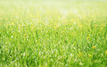 Spring grass covered with morning dew and sun rays refresh the meadow and flowers Stock Photography