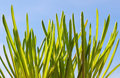 Spring grass fresh green against a clear blue sky in closeup Royalty Free Stock Photography