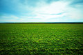 Spring grass grows on the field Royalty Free Stock Photo