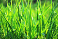 Spring green grass Royalty Free Stock Images