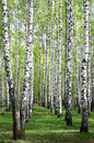 Spring greens in birch grove may Stock Photo