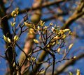 Spring has come. Branches with many buds. Royalty Free Stock Photo