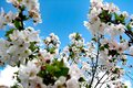 Spring has come, the trees donned a white color Royalty Free Stock Photo
