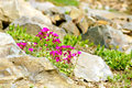 Spring is here flowers growing in the rocks Royalty Free Stock Photos