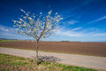 Spring is here vast landscape with fields and a blossoming tree Royalty Free Stock Photos