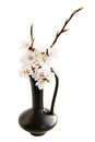 Spring ikebana white apricot blossoms isolated white Royalty Free Stock Photos