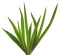 Spring Iris leaves Royalty Free Stock Photo