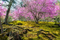 Spring in japan japanese moss garden with cherry blossoms during springtime arashiyama the western outskirts of kyoto Stock Image