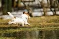Spring joy at park: dog jumping over melting snow puddles Royalty Free Stock Photo