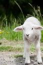Spring lamb Royalty Free Stock Image
