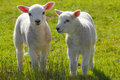 Spring lambs Royalty Free Stock Photo