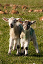 Spring Lambs in a Filed Royalty Free Stock Image